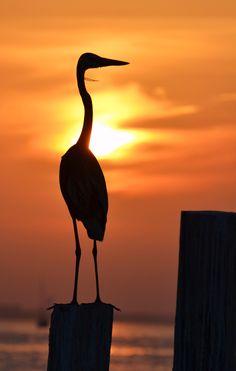 Great Blue Heron; Destin, FL