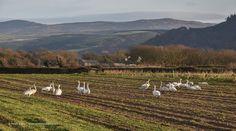 Whooper Swans at Ballaugh 2016 © Peter Killey - www.manxscenes.com