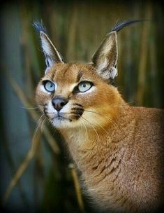 Caracal by Wendysalisbury Animals And Pets, Baby Animals, Cute Animals, Wild Animals, Big Cats, Cool Cats, Beautiful Cats, Animals Beautiful, Caracal Caracal