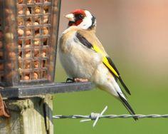 Goldfinch in my garden in Scotland.