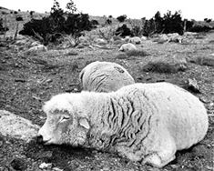 """The Dugway sheep incident, also known as the Skull Valley sheep kill, was a 1968 sheep kill that has been connected to United States Army chemical and biological warfare programs at Dugway Proving Ground in Utah. Six thousand sheep were killed on ranches near the base..."""