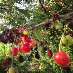 #Kirschen im #Garten