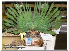 Image from http://i229.photobucket.com/albums/ee303/bluenics/cactus%20show/Succulent-show28.jpg.