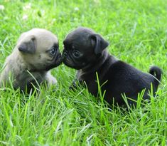 Adorable Pug Puppies. For more cute puppies, check out our youtube channel: https://www.youtube.com/channel/UCH7efODYtEdnWfAm1eS4NMA