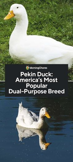 Although the Pekin duck is a multi-purpose breed for egg production and meat, and it makes a good pet duck as well, it is definitely the top duck meat breed Raising Ducks, Raising Chickens, Pekin Ducklings, Duck Breeds, Duck Coop, Pet Ducks, Selective Breeding, Duck Eggs, Healthy Environment