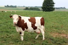 A cow in Franche-Comté.  I believe there's a cheese from this region of France called Comté.  Mmmm...cheese.