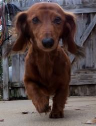 SugarPie HoneyBunch is an #adoptable #Dachshund #Dog in #CedarPark, #TX. To Apply for Adoption! Click here to complete an adoption application Welcome!