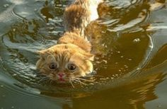 Cats Swimming in Water Click here to stop your cats from spraying.