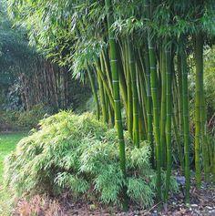 bamboo bush