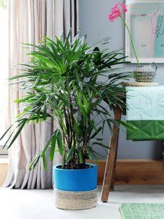 Cycas, Livistona, Caryota et Rhapis sont les plantes du mois de février #ACMSP #plante #green #home