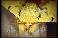 Automeris io Moth, Male 1 by *UffdaGreg on deviantART
