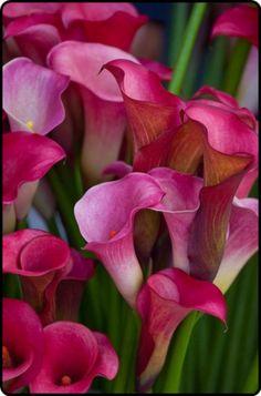 ✯ Calla Lilies