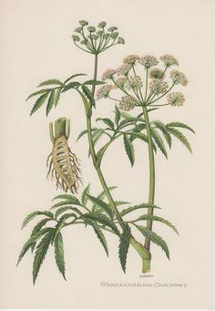 1954 Cicuta virosa Antique Botanical Print Vintage by Craftissimo