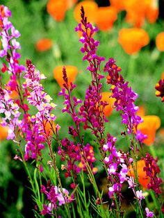 Annual toadflax: Light: Part Sun, Sun Type:Annual Height: Under 6 inches to 3 feet Width:To 1 foot wide Flower Color:Blue, Orange, Pink, Red, White Foliage Color:Chartreuse/Gold Seasonal Features: Fall Bloom, Spring Bloom, Summer Bloom Special Features: Cut Flowers, Good for Containers, Low Maintenance Zones: 2-11