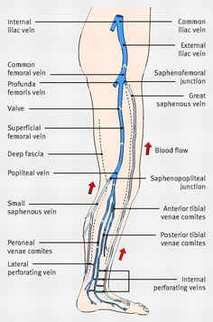 Diagram showing the venous anatomy of the leg