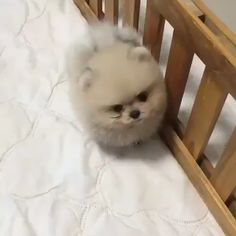 Cute funny animals - smartdog monkoodog pomeranianpuppy pomeranianlove pomeranians pomeranianworld puppies puppy justpomeranians 🎥 Video by Cute Baby Dogs, Baby Animals Super Cute, Cute Small Dogs, Cute Little Puppies, Cute Little Animals, Cute Dogs And Puppies, Cute Funny Animals, Funny Puppies, Yorkie Dogs