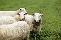 Farm Restaurant, Sheep Farm, Hotels And Resorts, Farm Animals, The Incredibles, Butler, Blackberry, Vineyard, Heart