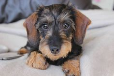 Precious baby. Doxies are So sweet!