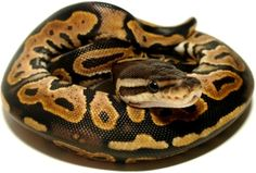 Ball Python, if I could have one, I totally would