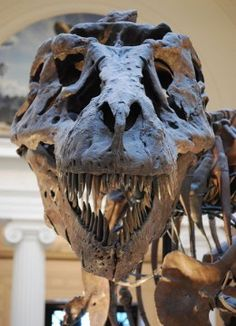 """Close up of """"Sue"""" T-Rex replica skull at the Field Museum of Natural History in Chicago, IL. Dinosaur Bones, Dinosaur Fossils, Giant Dinosaur, Dinosaur Skeleton, Dinosaur Eggs, T Rex Jurassic Park, Field Museum, In Natura, Extinct Animals"""