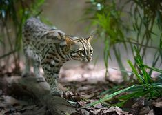 The ancestry of the Bengal cat derives from a spotted domestic cat and a small wild spotted feline called the Asian leopard cat (ALC) or Felis bengalensis. Asian Leopard Cat, Cheetah, Domestic Cat, Leopards, Big Cats, Bengal Cats, Hunting, Leopard Cat, Animaux