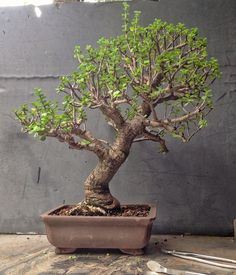 """A successful bonsai growing is the result of careful care and shaping. It is a form of art that requires a great deal of attention as well as patience. The goal of bonsai is to achieve """"keisho-sodai"""", which means """"small. Bonsai Tree Price, Buy Bonsai Tree, Japanese Bonsai Tree, Bonsai Trees For Sale, Bonsai Tree Care, Bonsai Tree Types, Tree Sale, Indoor Bonsai Tree, Jade Bonsai"""