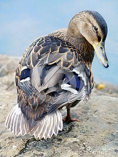 I use to raise mallards in my younger days.A female mallard Pretty Birds, Beautiful Birds, Animals Beautiful, Duck Pictures, Funny Animal Pictures, Cute Baby Animals, Animals And Pets, Canard Colvert, Regard Animal