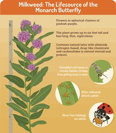 Gardening for Butterflies: Milkweed