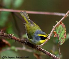 "Black-faced Warbler - The black-faced warbler is a species of bush warbler. It was formerly included in the ""Old World warbler"" assemblage. It is found in Bhutan, China, India, Myanmar, Nepal, and Vietnam."