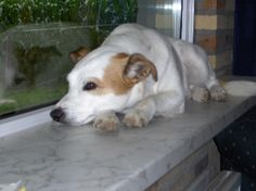 Vermist HAELEN'S BROEK 9/7/14   :: Amivedi-Nederland | Stichting voor vermiste en gevonden huisdieren ::