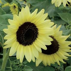 Valentine Sunflower, packet of 50 seeds for Sunflower Colors, Sunflower Pictures, Sunflower Seeds, Small Sunflower, Sunflower Art, Types Of Flowers, Cut Flowers, Indoor Tropical Plants, Primroses