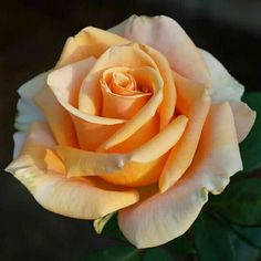 One of my favourite colours for roses Beautiful Rose Flowers, Flowers Nature, My Flower, Flower Art, Beautiful Flowers, Rose Reference, Foto Rose, Realistic Rose, Rose Pictures
