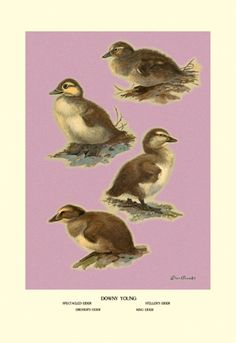 Four Downy Young Ducks, by Allan Brooks