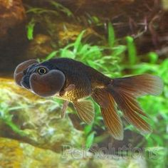 black bubble eye goldfish, fresh water fish     http://www.petsolutions.com/C/Live-Freshwater-Fish-Goldfish-Koi/I/Black-Bubble-Eye-Goldfish.aspx    Scientific Name: Carassius auratus  Ease of Care: Easy  Approximate Arrival Size: Small: 1 to 2 inches  Approximate Full Size: 5 inches  Native Region: Asia  Temperament: Peaceful  Diet: Omnivore
