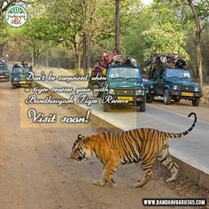 Don't Be Surprised When A #Tiger Crasses Your Path #BandhavgarhTigerReserve Visit Soon!!!
