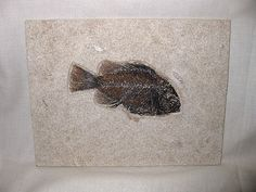 Cockerellites liops Green River Fish #3  Product Description Cockerellites liops (Formerly Priscacara liops) Eocene Age Green River Formation 18″ Layer Fossil Lake, Wyoming This specimen measures approx. 5 1/16″ long and the overall size of the plate is approx. 6 9/16″ x 8 5/8″.  This specimen comes from the 18″ Layer