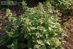 Calamint 'Variegata'  Calamintha grandiflora