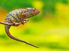 The beauty of nature:   travel the corners of the planet to see the Earth in all her glory -- so gorgeous that perhaps you'll feel inspired to save the world; A chameleon, captured in Antananarivo, Madagascar.