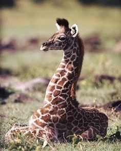 A young giraffe resting on the savannah plains. Zoo Animals, Cute Baby Animals, Animals And Pets, Funny Animals, Masai Giraffe, Giraffe Neck, Giraffe Pictures, Animal Pictures, Baby Animals