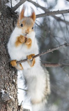 someone who loves nuts by Nick Saenko on You are in the right place about Rodents control Here we offer you the most beautiful pictures about the Rodents illustration you are looking for. Squirrel Pictures, Wild Animals Pictures, Cute Animal Pictures, Rare Animals, Animals And Pets, Cute Funny Animals, Cute Baby Animals, Image Zen, Cute Squirrel