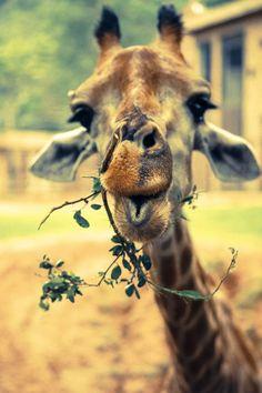 Giraffes are so cute it hurts