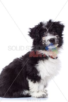 stock photo of cute black and white havanese bichon sitting isolated