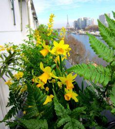 www.fleursaubalcon.com Abonnement de jardinière fleurie pour balcon.  Composition à base de jonquilles et fougères.