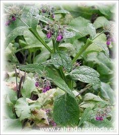 Kostival lékařský Herb Garden, Home And Garden, Medicinal Herbs, Natural Healing, Health Fitness, Nature, Plants, Gardening, Health