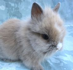 Double Maned Lionhead Rabbit | Gorgeous Purebred Double Mane Lionhead Bunny Rabbits! Ready For Homes!