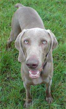 Weimaraner Dogs Blue | Weimaraner Photos Pictures Weimaraners