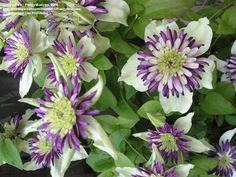 Clematis florida var sieboldiana 'Vienetta'  The blooms are 4 inches across, with pure white petals that turn chartreuse in the autumn chill. They surround a large, frilly center of black and purple that resembles a Passionflower! And they arise heavily in early to midsummer, continuing all season. Expect 50 or more blooms on a single plant of Vienetta!   This climber reaches just 6 to 8 feet high, ideal for container growth as well as the garden soil. Pruning Group 3, hardy in zones 6-9