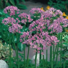 Allium Pink (Allium unifolium) has lavender pink star-like flower heads. Creating a beautiful statement growing in a thick clump, this variety is ideal Types Of Flowers, Small Flowers, Cut Flowers, Beautiful Flowers, Garden Beds, Garden Plants, End Of Spring, Easy To Grow Bulbs, Garden Express
