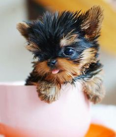 Yorkie teacup puppies can be a handful (literally). Learn how to care for them with these ten tips.