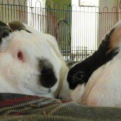 Finnie and Five finally  bonded! #houserabbits  #adoptdontshop  #rabbitsofinstagram  #rabbitstagram  #rabbits #rabbitsinlove by icingbunny